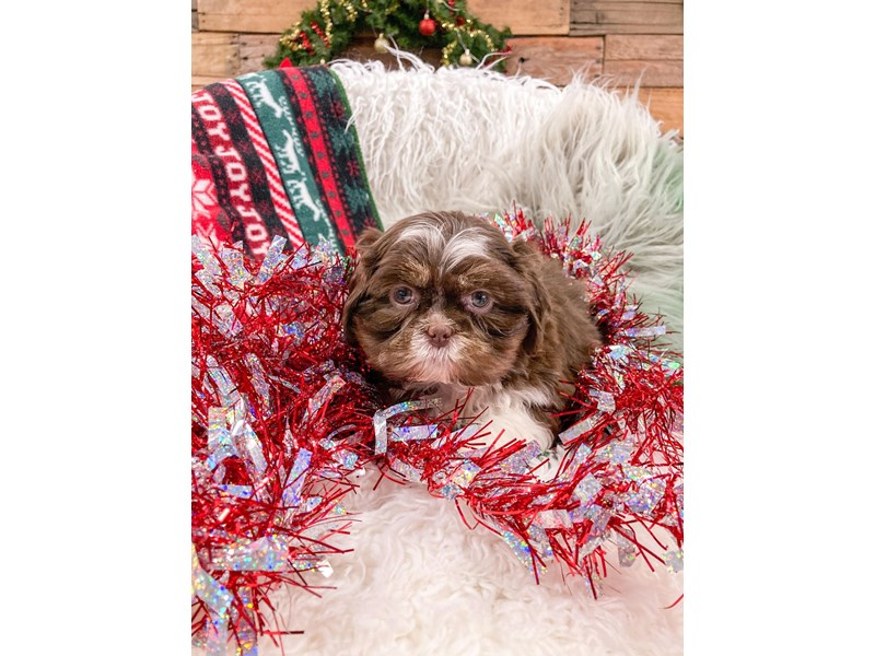 Shih Tzu-Male-Brown / White-2937863-The Barking Boutique