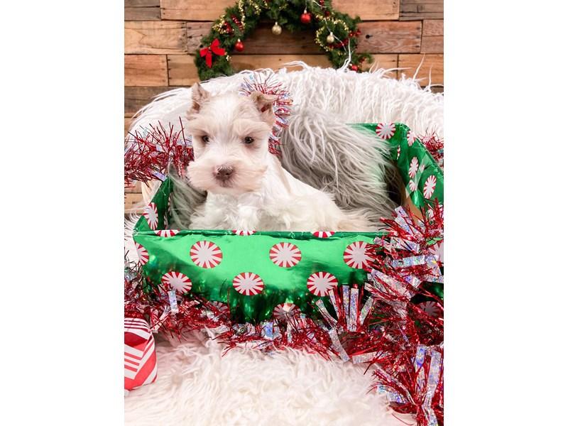 Miniature Schnauzer-Male-White / Sable Merle-2937858-The Barking Boutique