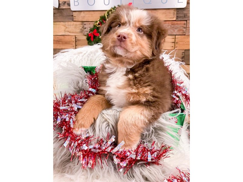 Aussidoodle-Male--2937447-The Barking Boutique