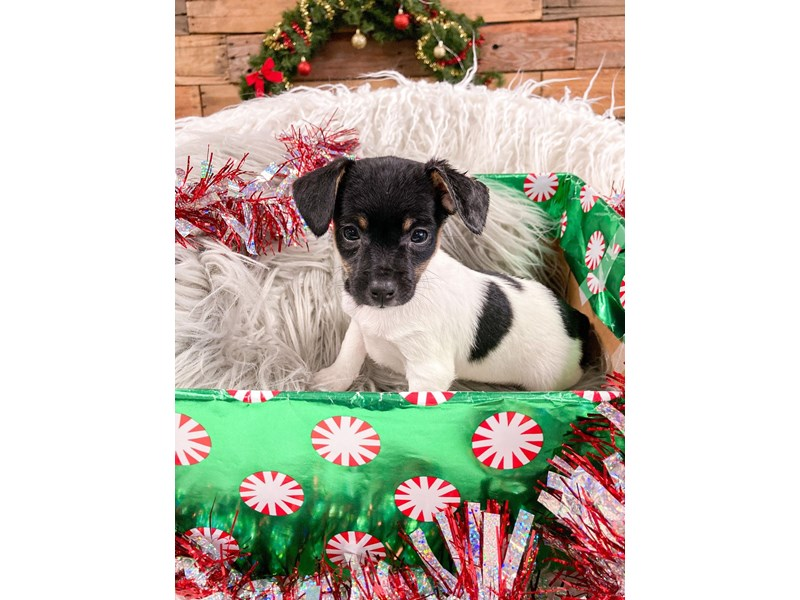 Toy Fox Terrier-Male--2937438-The Barking Boutique