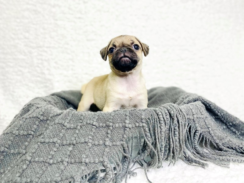 Pug-Female-Fawn-2944940-The Barking Boutique