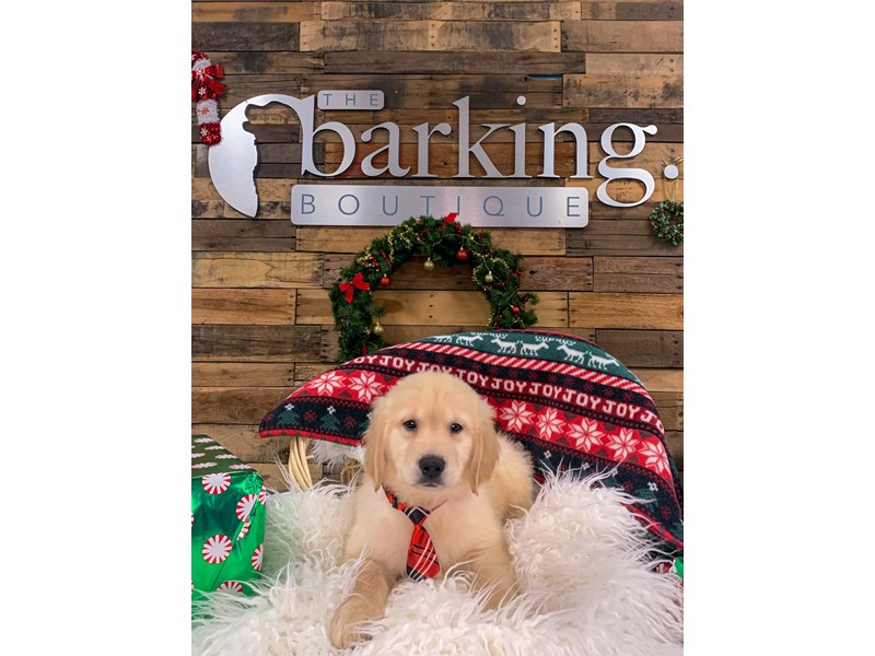 Golden Retriever-Male-Golden-2944936-The Barking Boutique