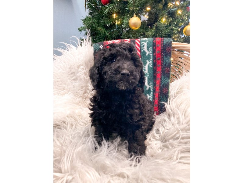 Poodle-Male-Black-2913245-The Barking Boutique