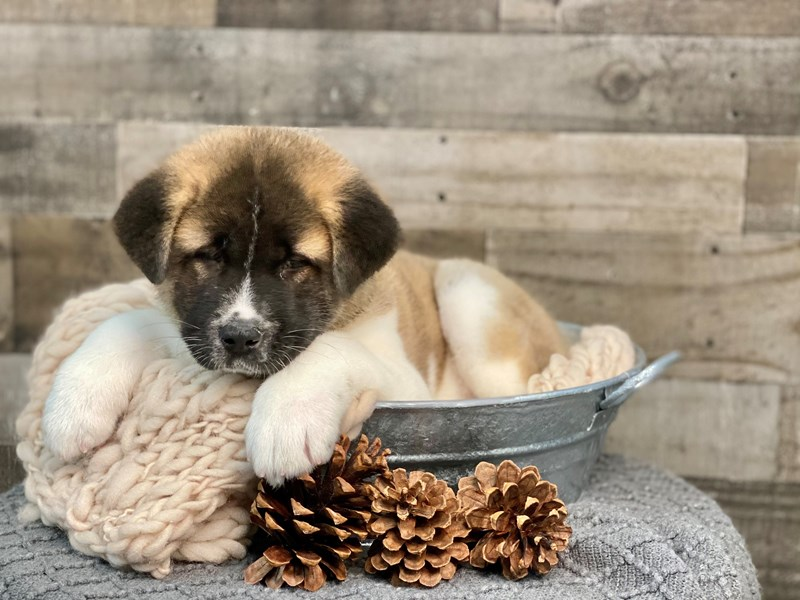 Akita-Female-Brown / White-2922564-The Barking Boutique