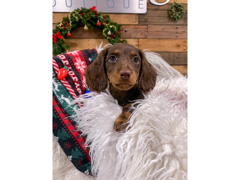 Dachshund-Female-Chocolate-2929851-The Barking Boutique