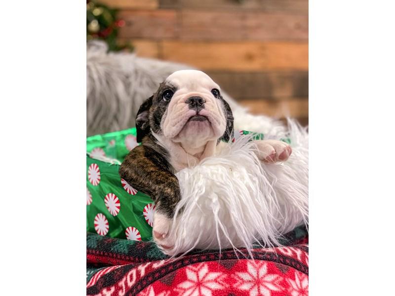 Bulldog-Female-Brindle-2929814-The Barking Boutique