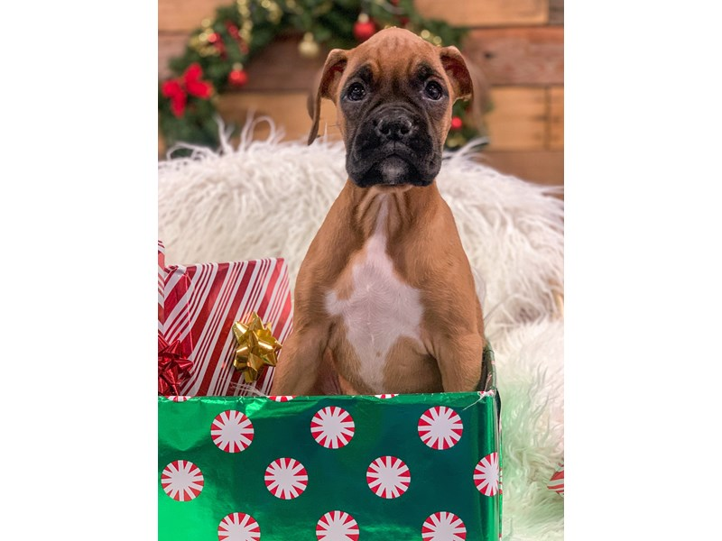 Boxer-Female-Fawn-2929849-The Barking Boutique