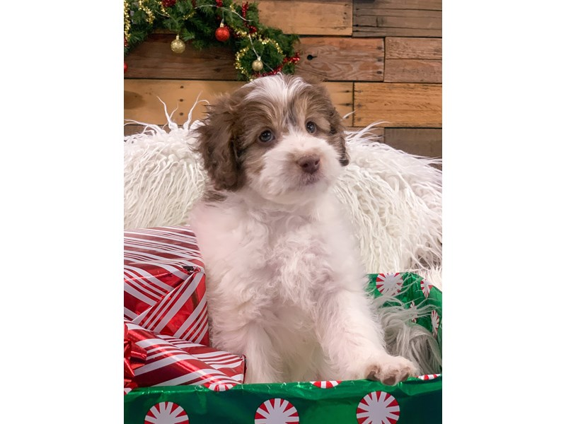 Aussiedoodle Mini-Male-Chocolate-2929850-The Barking Boutique