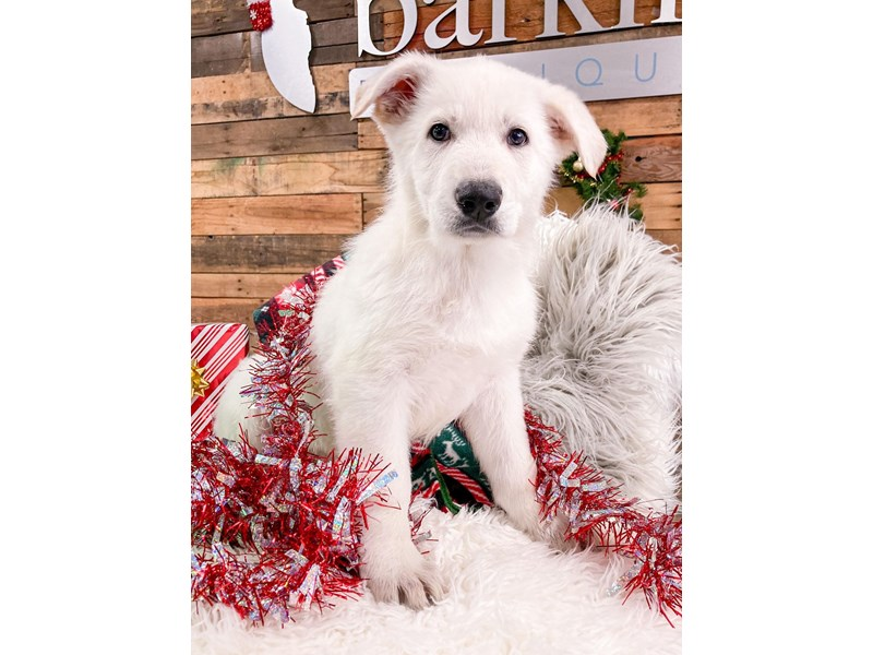 German Shepherd Dog-Male-White-2937925-The Barking Boutique