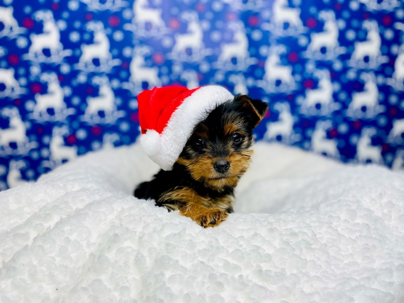 Yorkshire Terrier-Male--2943473-The Barking Boutique