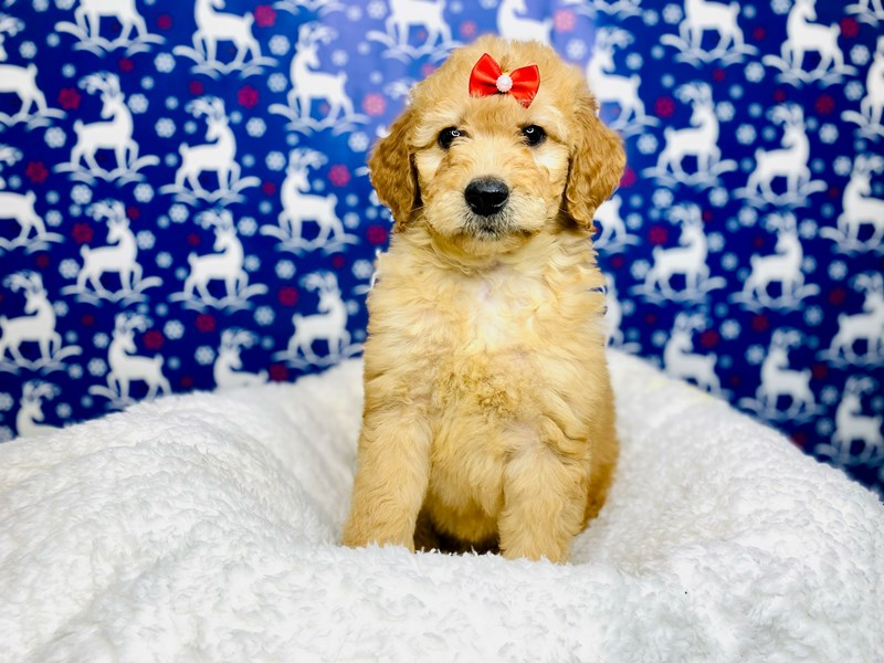 F2B Mini Golden Doodle-Female-Golden-2943423-The Barking Boutique
