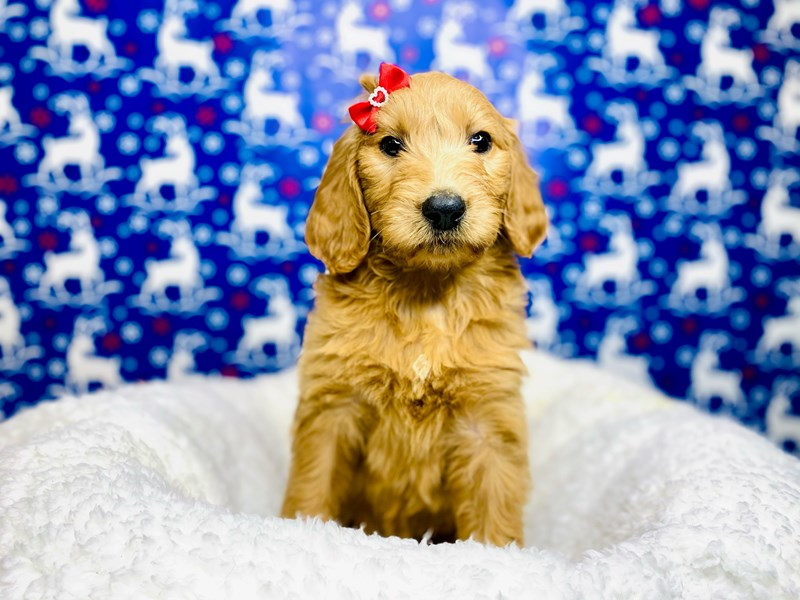 F2B Mini Golden Doodle-Female-Golden-2943425-The Barking Boutique
