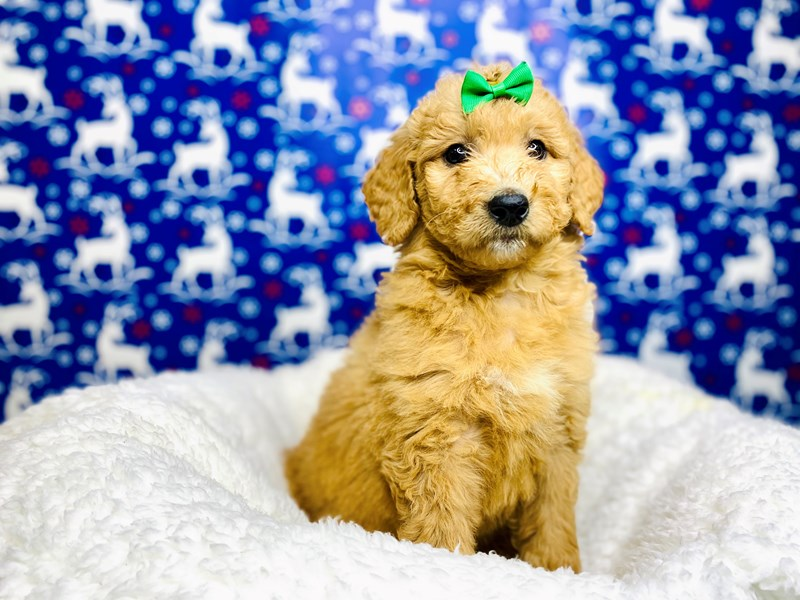 F2B Mini Golden Doodle-Female-Golden-2943420-The Barking Boutique