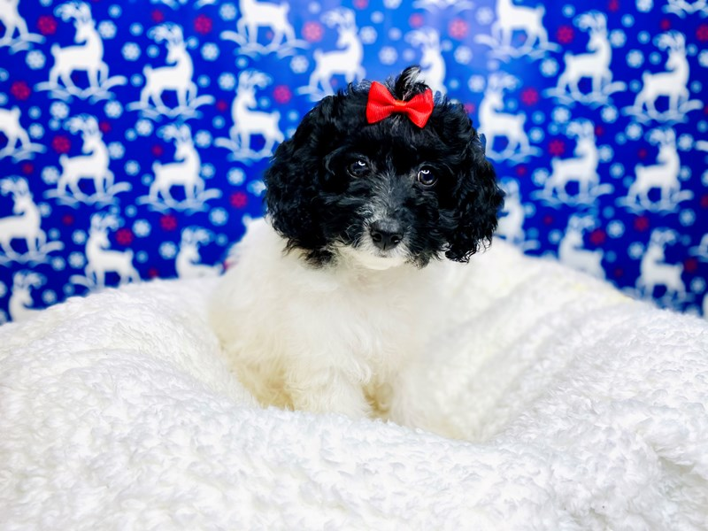 Cavapoo-Female-Black and white-2941796-The Barking Boutique