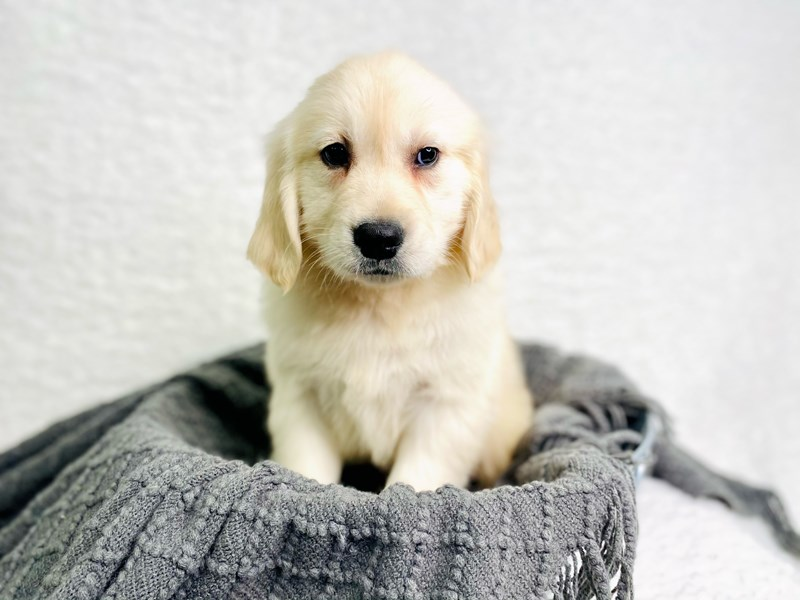 Golden Retriever-Male-Golden-2944935-The Barking Boutique