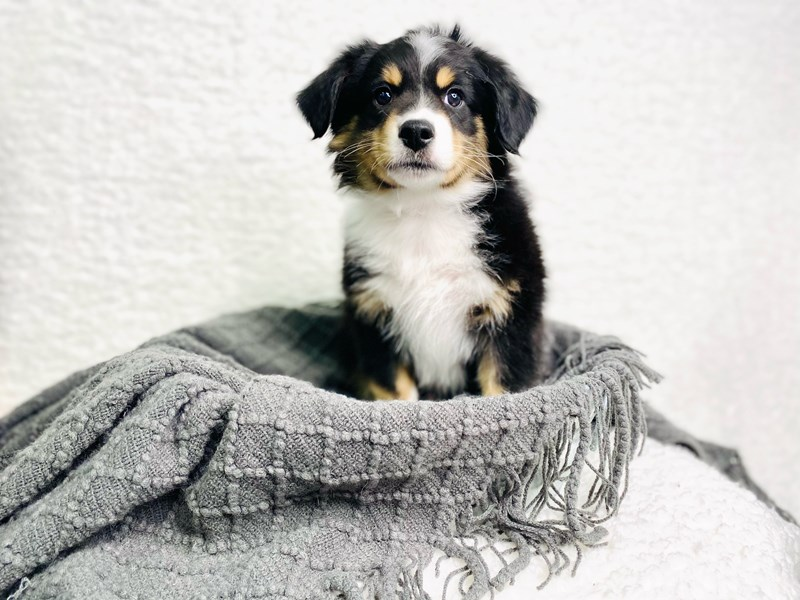 Miniature Australian Shepherd-Male-Black Tan / White-2944937-The Barking Boutique