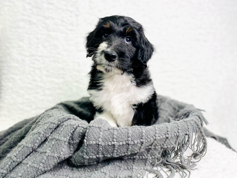 Aussiepoo-Male-Black Tan / White-2944943-The Barking Boutique