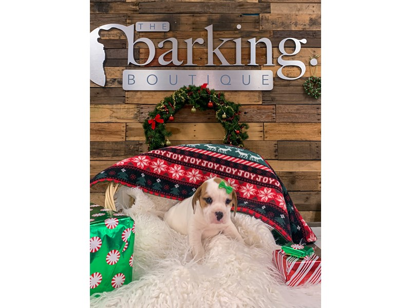 Beabull-Female--2944986-The Barking Boutique