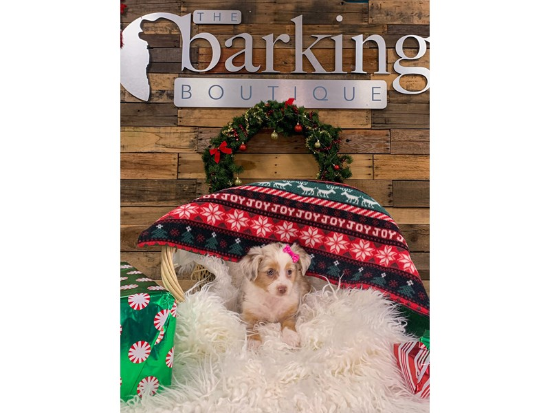 Miniature Australian Shepherd-Female-Red Merle-2944938-The Barking Boutique