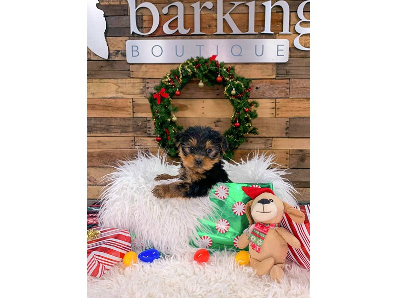 Yorkshire Terrier-Male--2943557-The Barking Boutique