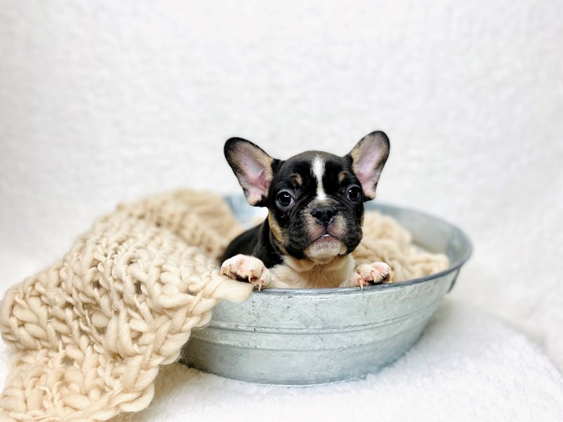 French Bulldog-Female-Black & White-2949565-The Barking Boutique