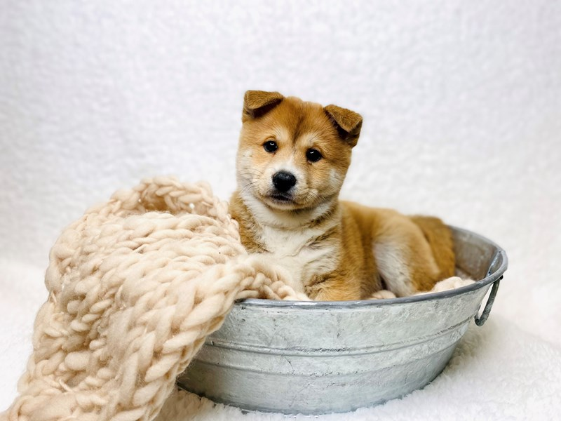 Shiba Inu-Male-Red-2949778-The Barking Boutique