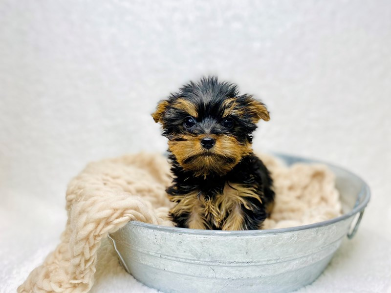 Yorkshire Terrier-Female--2950021-The Barking Boutique