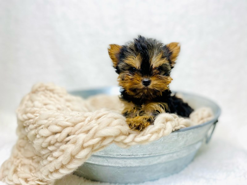 Yorkshire Terrier-Female--2950019-The Barking Boutique