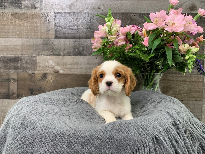Cavalier King Charles Spaniel – Lord Lapdog