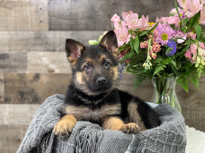 German Shepherd-Male--2951567-The Barking Boutique