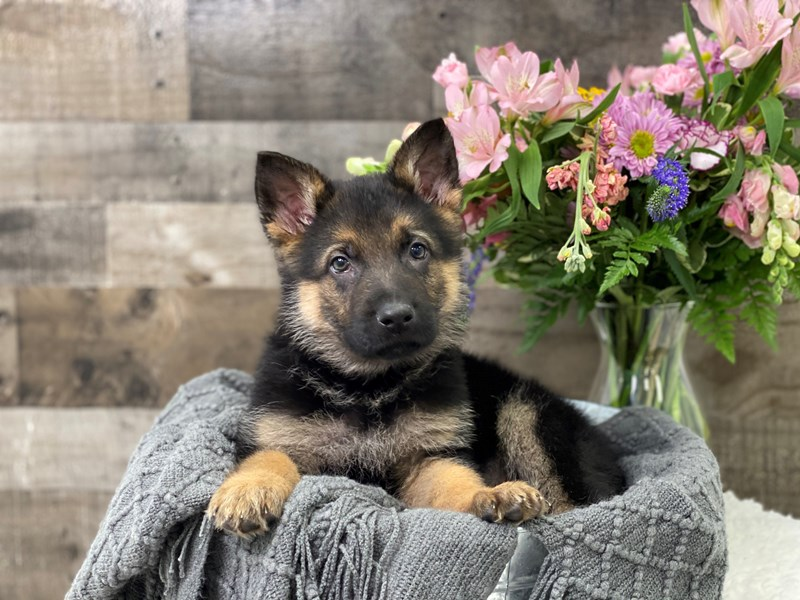 German Shepherd – Mittens