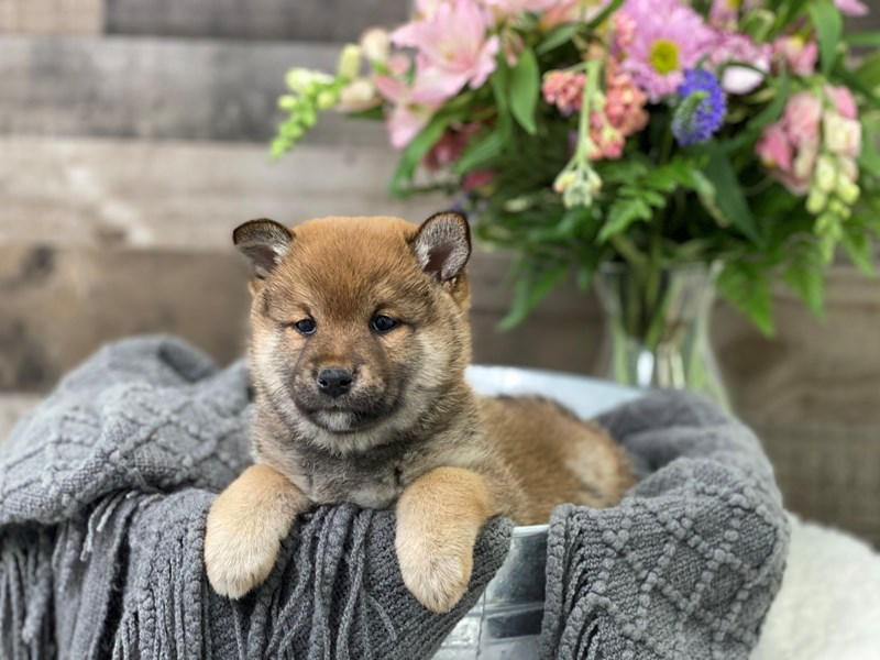 Shiba Inu-Male-Red-2951471-The Barking Boutique