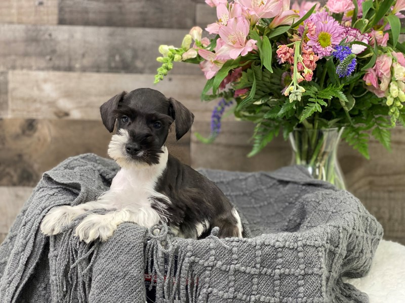 Miniature Schnauzer-Male-Black / White-2951480-The Barking Boutique