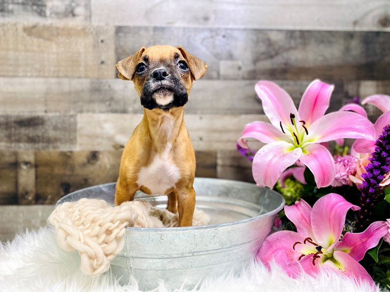 Boxer-Female-Fawn-2957122-The Barking Boutique