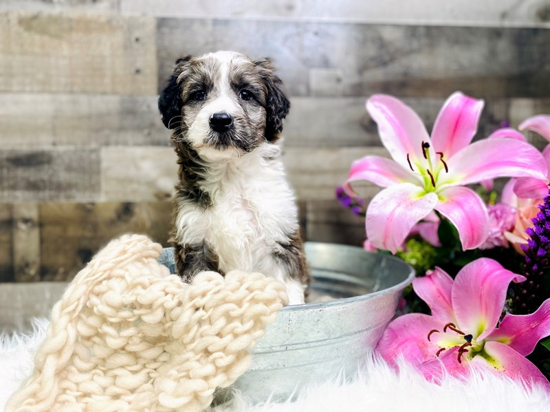 Mini Sheepadoodle-Male-blue and white-2953522-The Barking Boutique
