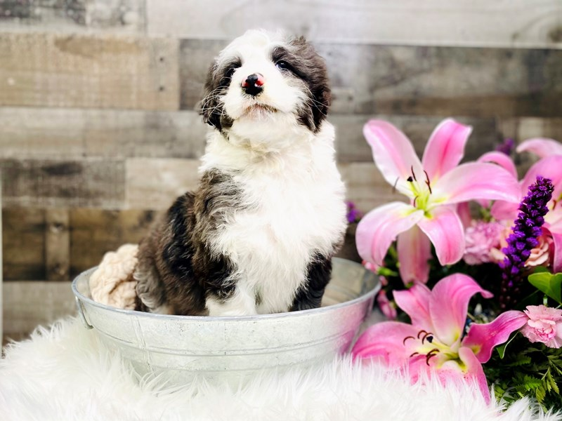 Mini Sheepadoodle-Male-blue mrl and white-2953526-The Barking Boutique