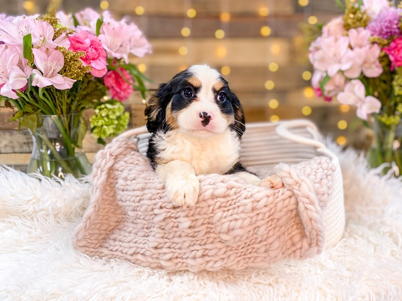 F1B Mini Bernadoodle/Cavalier King Charles Spaniel-Female-Tri-color-2957547-The Barking Boutique