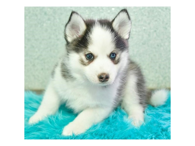 Pomsky-Male-Gray / White-2960517-The Barking Boutique