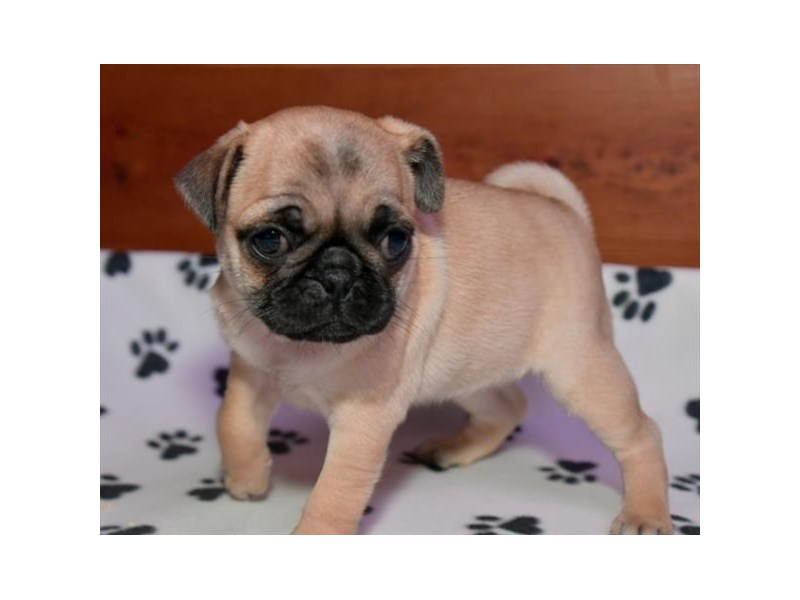 Pug-Female-Fawn-2960755-The Barking Boutique