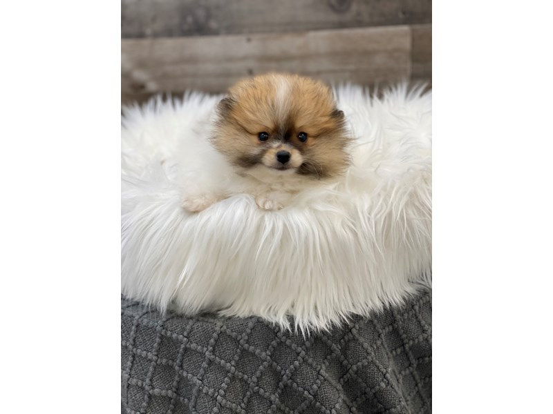 Pomeranian-Female-Sable / White-2960753-The Barking Boutique