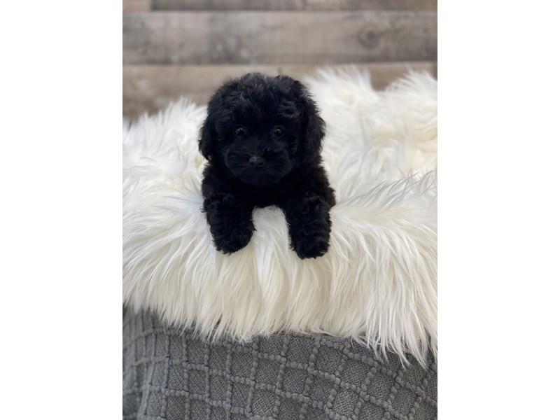 Poodle-Female-Black-2960521-The Barking Boutique