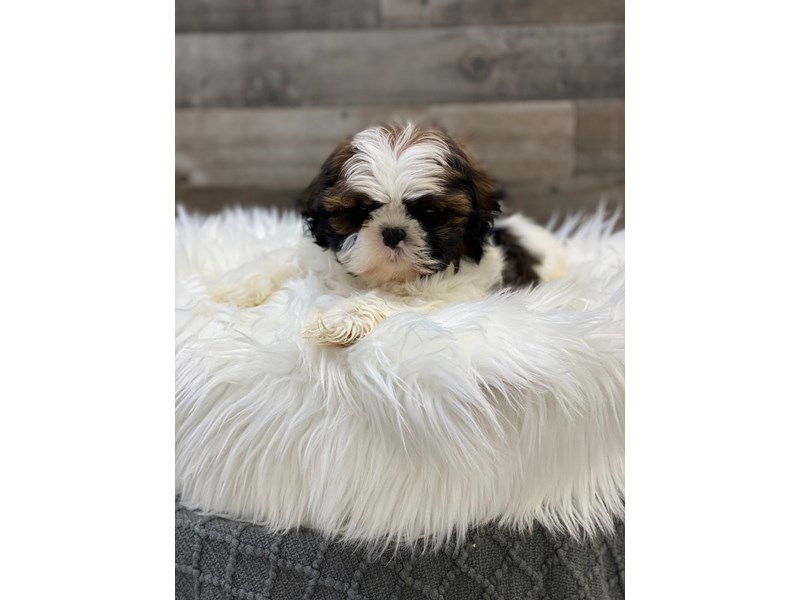 Shih Tzu-Male-Brown / White-2960527-The Barking Boutique