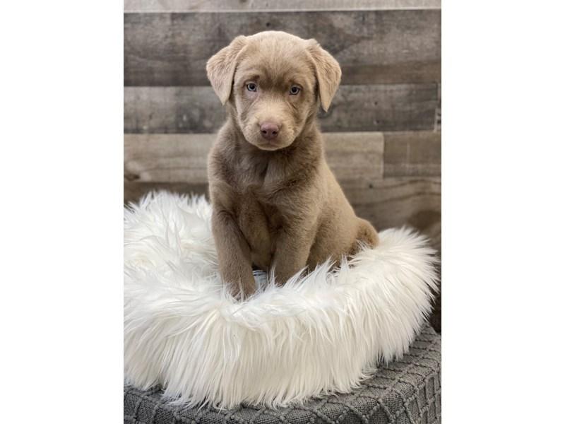 Labrador Retriever-Male-Silver-2960525-The Barking Boutique