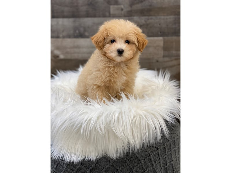 Petite Goldendoodle-Male-Cream-2958952-The Barking Boutique