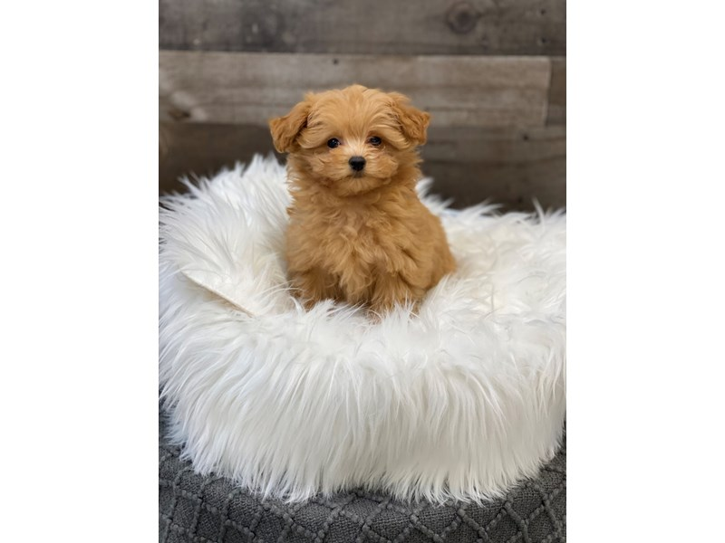 Petite Goldendoodle-Male-Red-2958950-The Barking Boutique