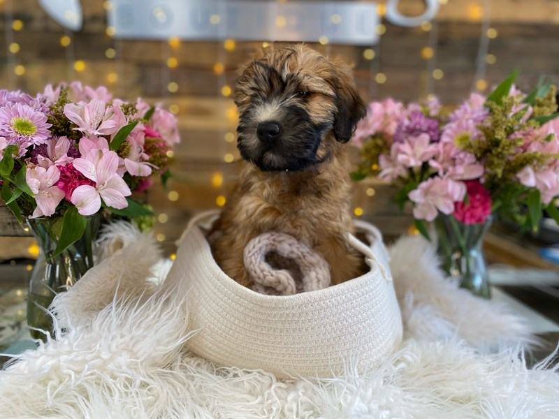 Soft Coated Wheaten Terrier-Male-Wheaten-2960748-The Barking Boutique