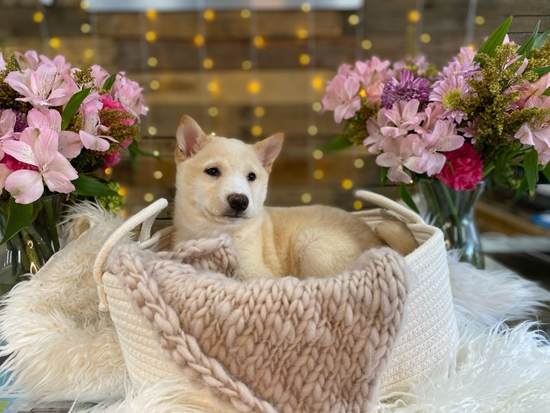 Shiba Inu-Male-Cream-2960534-The Barking Boutique