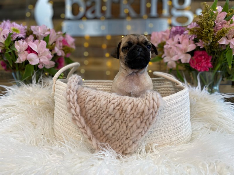 Pug-Male-Fawn-2960756-The Barking Boutique