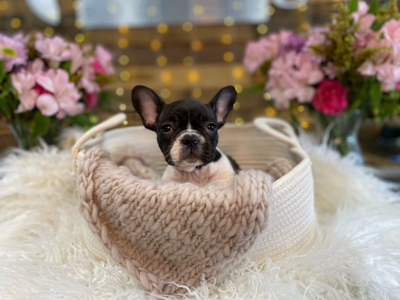 French Bulldog-Male-Blue / White-2960523-The Barking Boutique
