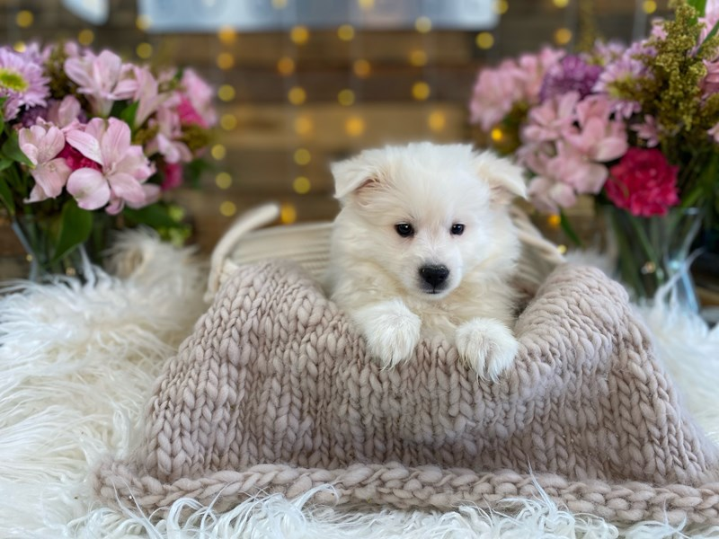 American Eskimo Dog-Female-White-2960531-The Barking Boutique